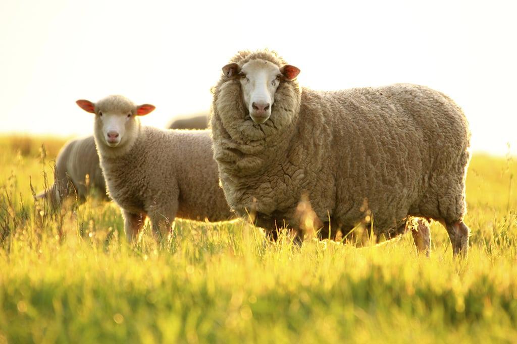 Merino wool from Merino sheep